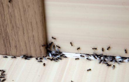 Formiche in casa: cosa fare per eliminarle