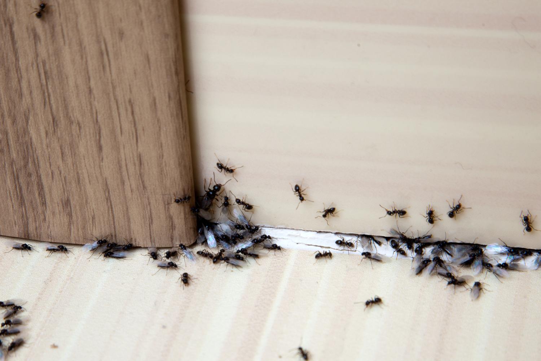 Formiche in casa cosa fare per eliminarle tipitipi magazine - Formiche in casa perche ...